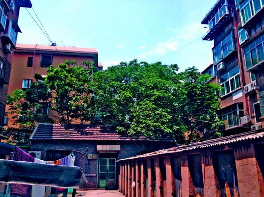◥张女士家的屋顶已经被屋后的几棵梧桐树遮住,树枝贴着房顶生长.